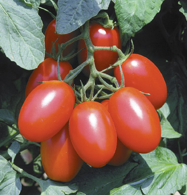 Juilet F1 Tomato